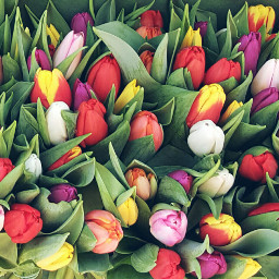 wppflowers springtime beautiful colorful tulips