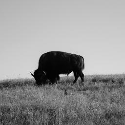 buffalo bison oklahoma prairie plains