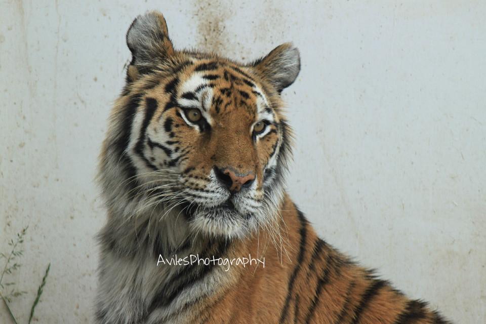 #AvilesPhotography #Animal #Nature #Tiger #Travel #Photography